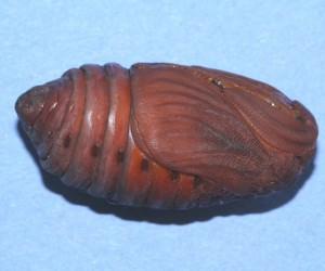 Pupa of Male Cecropia Moth. Photo: Megan McCarty